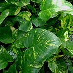picture of a green pothos vine