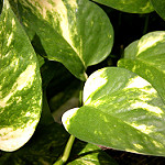green and white striped leaves of a pothos vine