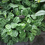 photo of variegated leaves of a prayer plant