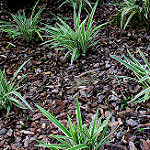 a photo of several spider plants in wood chips and mulch