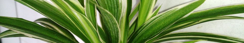long leaves of a spider plant